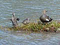 Upland goose (female) and chicks.jpg