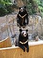 Ursus thibetanus Beijing zoo.jpg