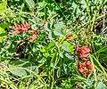 Vaccinium uliginosum subsp. microphyllum at Col de Joux Plane (3).jpg