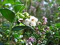 Vaccinium vitis-idaea (2005 09 18).jpg