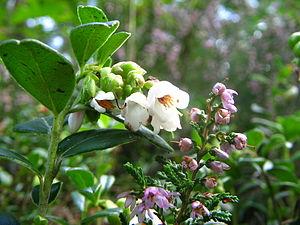 Sallandse Heuvelrug National Park - Lingonberry or cowberry (Vaccinium vitis-idaea)