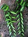 Vanilla planifolia variegata (5288801445).jpg