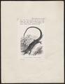 Varanus prasinus - 1700-1880 - Print - Iconographia Zoologica - Special Collections University of Amsterdam - UBA01 IZ12400001.tif