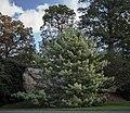 Variegated Himalayan pine in New York Botanical Garden (80666).jpg