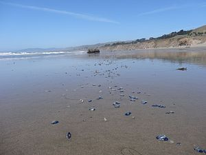 Velella - Velella scattered across a beach in Northern California