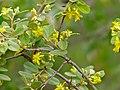 Velvet Raisin (Grewia flava) (11422947756).jpg