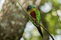 Venezuelan Parakeet - Perico Pintado ( Pyrrhura picta emma) (16023875042) (2).jpg