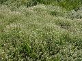 Veronica anagalis-aquatica bove-sur-barboure 55 01062004 2.JPG