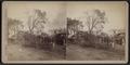 View of downed trees, by Camp, D. S. (Daniel S.) 2.png