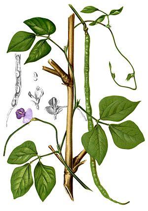 Vigna - cowpea (Vigna unguiculata)