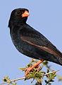 Village indigobird, Vidua chalybeata, at Mapungubwe National Park, Limpopo, South Africa (male) (18037156485).jpg
