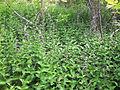 Vincetoxicum rossicum SCA-0544.jpg