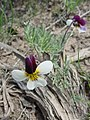 Viola beckwithii-4-04-04.jpg