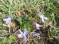 Viola rupestris sl3.jpg