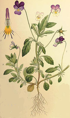 Wildes Stiefmütterchen (Viola tricolor), Illustration