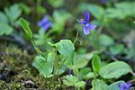 Viola uliginosa 1.JPG