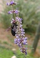 Vitex-agnus-castus-flowers