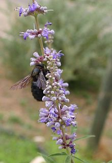 The ALL Herbs Room 220px-Vitex-agnus-castus-flowers
