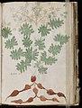 Voynich Manuscript (117).jpg
