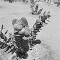 Vruchten aan boompjes in woestijngebied, Bestanddeelnr 255-2718.jpg