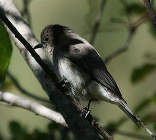 Brown-backed honeybird species of bird