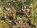 Waldläusekraut (Pedicularis sylvatica)@03.jpg