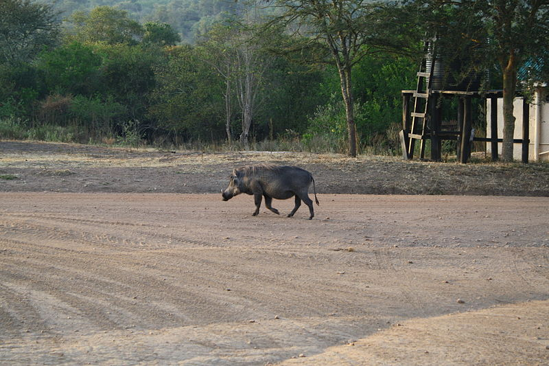 File:Warthog in Lake Mburo National Park.JPG