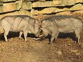 Warthogs at Louisville Zoo.jpg