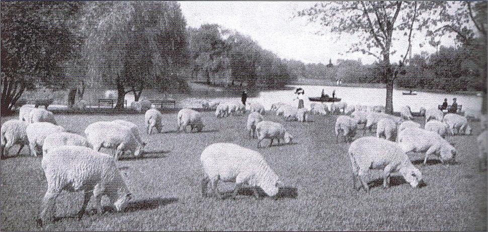 Washington Park Sheep