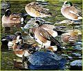 Water Fowl, Ford Park 2-2-14j (12325385134).jpg