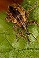 Weevil (6926934017).jpg