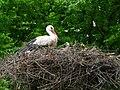 Weißstorch mit Jungvogel.JPG