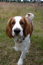 """A red and white spaniel is moving towards the camera."""