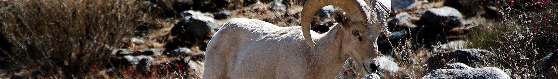 Big Horn Sheep, a resident of this region of Arizona.