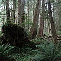 West Walbran Valley old growth Thuja plicata.jpg