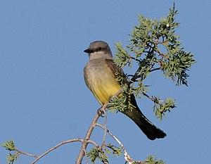 Western kingbird - in Nevada