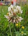 Wet clover, Sandy, Bedfordshire (9160136315).jpg