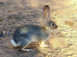 Desert cottontail - California High Desert cottontail on alert for predators