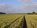 Wheat, Shottesbrooke - geograph.org.uk - 872786.jpg