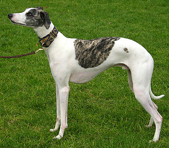 Whippet - A grey brindle and white Whippet