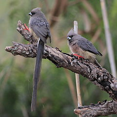 White-backed Mousebird.jpg