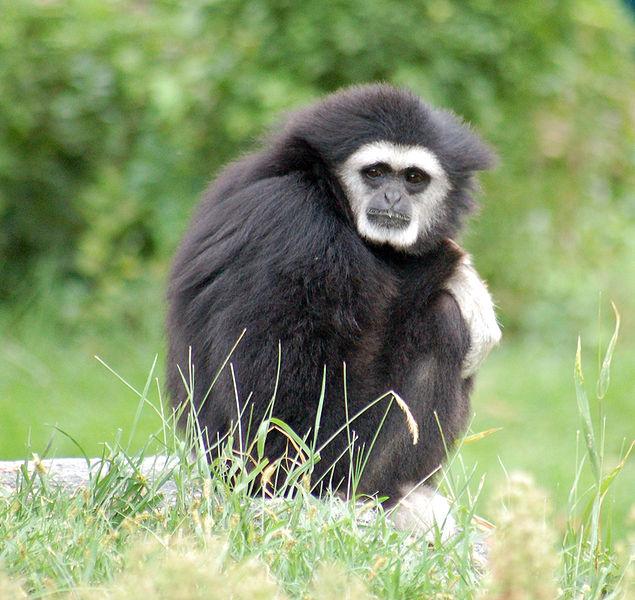 File:White-handed Gibbon Hylobates lar Black 1800px.jpg