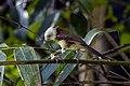 White-hooded Babbler - Central Thailand S4E5030 (18924793224).jpg