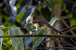 White-hooded Babbler - Central Thailand S4E5030 (18924793224).jpg