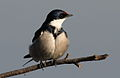 White-throated Swallow, Hirundo albigularis at Marievale Nature Reserve, Gauteng, South Africa (9700118831).jpg