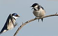 White-throated Swallow, Hirundo albigularis at Marievale Nature Reserve, Gauteng, South Africa (9700151525).jpg