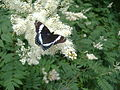 White Admiral in Southern Maine.jpg