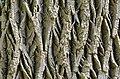 White Ash Fraxinus americana Bark.JPG