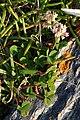 White Clover (Trifolium repens) - Bay Roberts, Newfoundland 2019-08-12.jpg