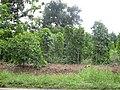 White Pepper Plantation in Bangka.jpg